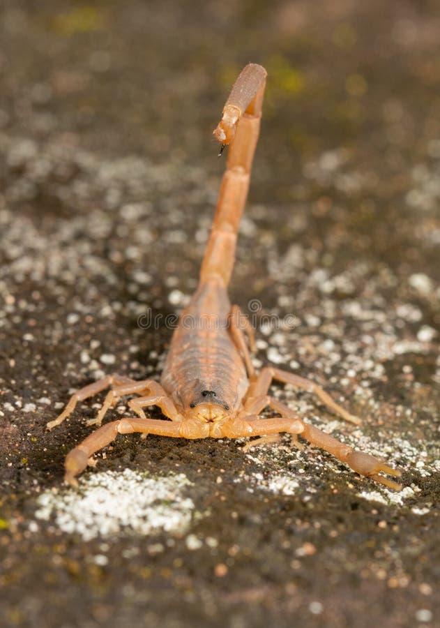 Opinión de frente un escorpión rayado de la corteza con su aguijón sobre el suyo detrás fotografía de archivo