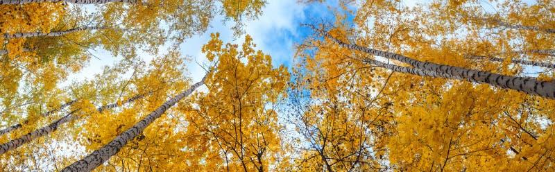 Opinión de la arboleda del abedul de la corona de los árboles y del cielo en día soleado del otoño foto de archivo