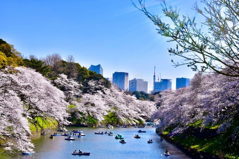 Opinión de la flor de cerezo de Sakura del parque del chidorigafuchi de Tokio foto de archivo libre de regalías