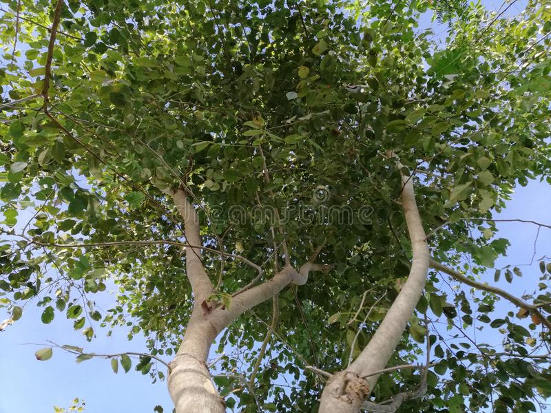 Opinión de la hormiga del cochinchinensis del Dalbergia el árbol del valor de Tailandia imagen de archivo libre de regalías