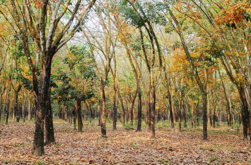 Opinión de la madrugada en bosque del árbol de goma fotos de archivo
