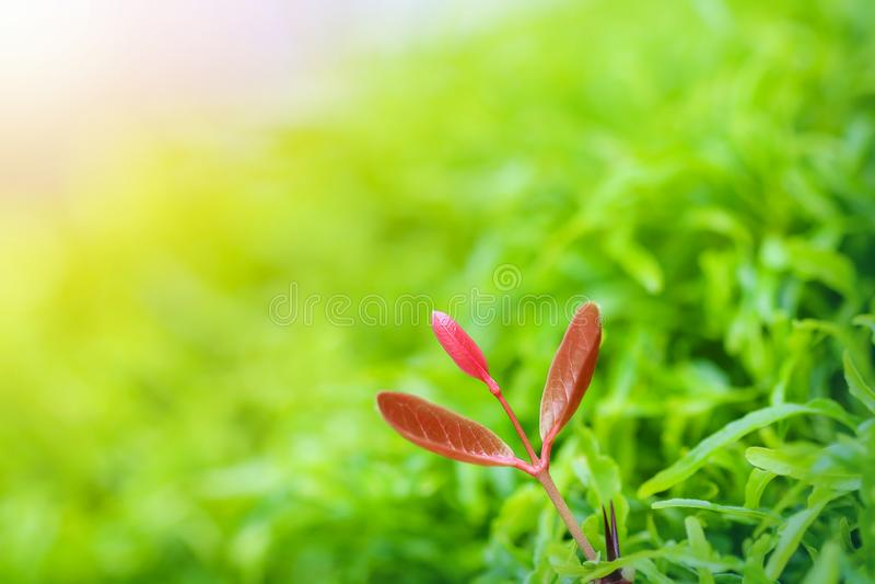 Opinión de la naturaleza del primer del foco selectivo de la hoja roja superior suave en jardín imagenes de archivo