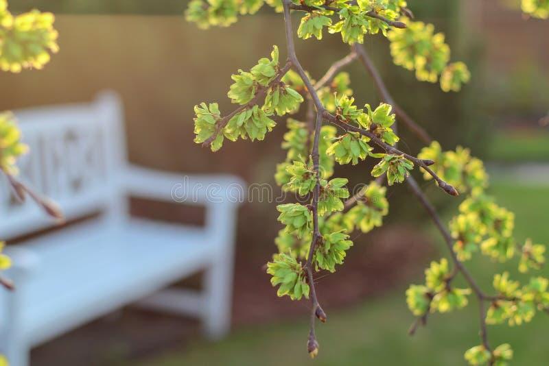 Opinión de la primavera en un jardín con un banco blanco debajo de un árbol de olmo floreciente fotos de archivo