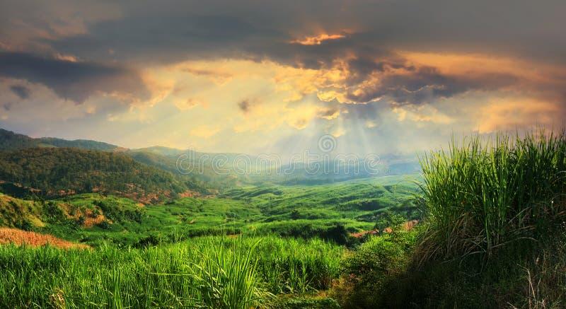 Opinión de la puesta del sol del campo de la plantación de la caña de azúcar fotografía de archivo