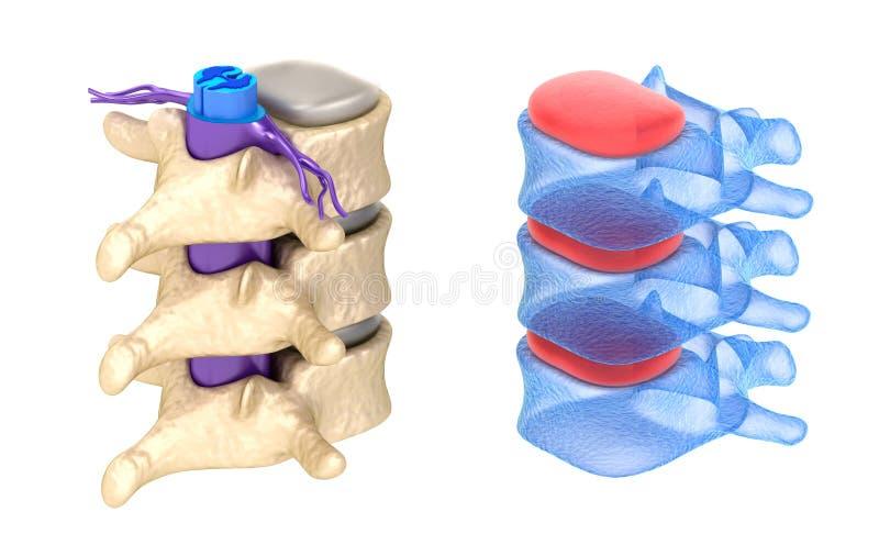Opinión de la radiografía de la espina dorsal, aislada libre illustration