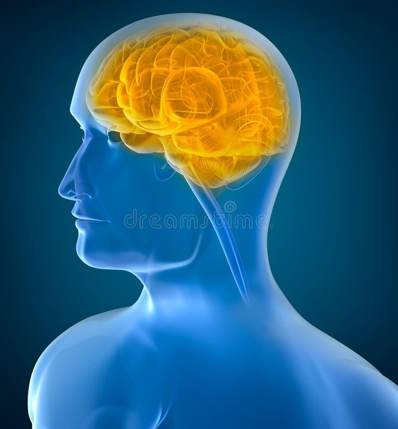Opinión de la radiografía del cerebro humano ilustración del vector