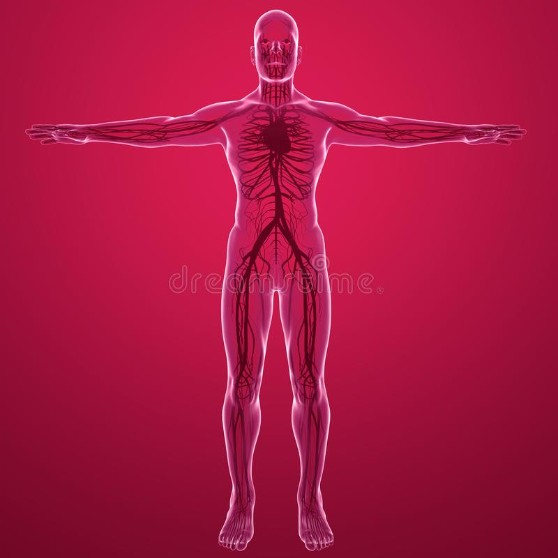 Opinión de la radiografía del cuerpo humano del sistema circulatorio con las arterias y las venas del corazón ilustración del vector