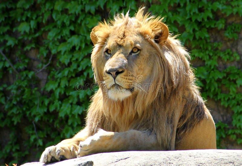Opinión de los leones imagenes de archivo