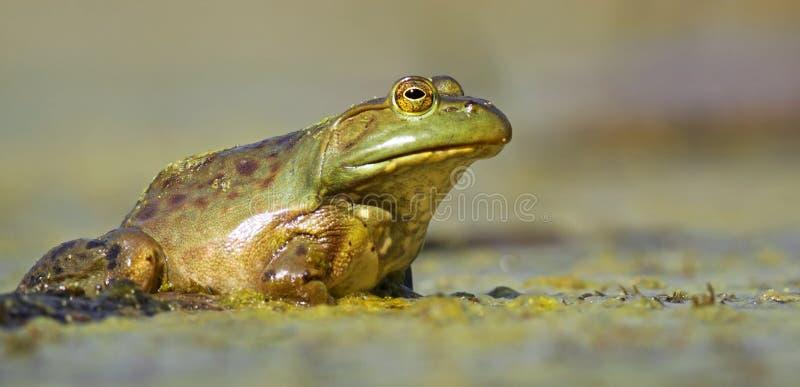 Opinión de nivel del agua de la rana verde imagenes de archivo