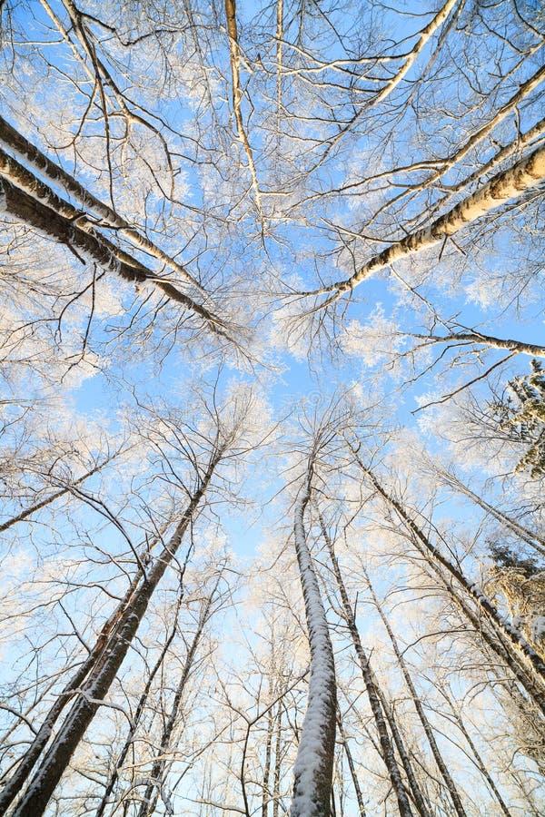 Opinión de perspectiva nevada del árbol que mira para arriba imagenes de archivo