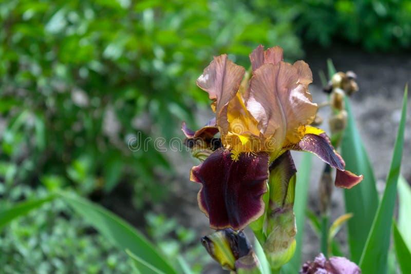 Opinión de un amarillo chino del susurro, rosa, flo marrón del primer del iris fotos de archivo