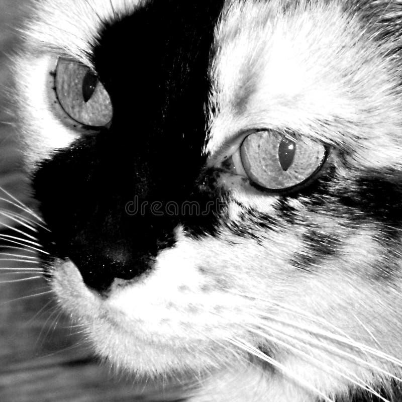 Opinión de un calicó, tortuga Shell Breed del primer de felino fotos de archivo libres de regalías
