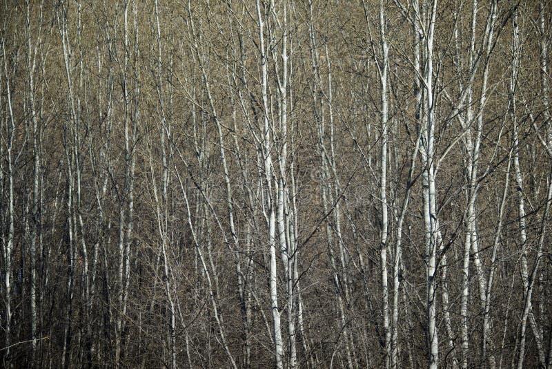 Opinión del bosque del álamo fotografía de archivo libre de regalías