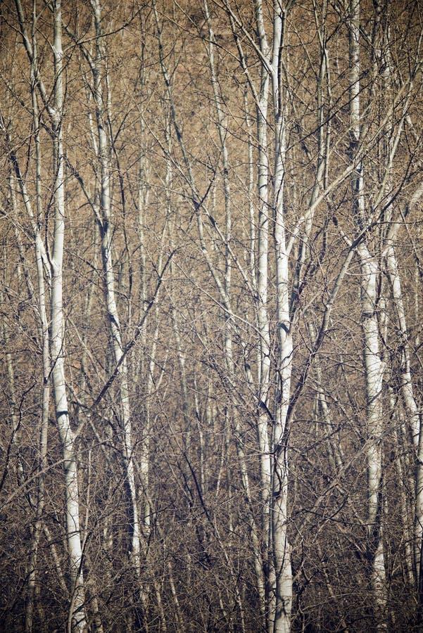 Opinión del bosque del álamo imagenes de archivo