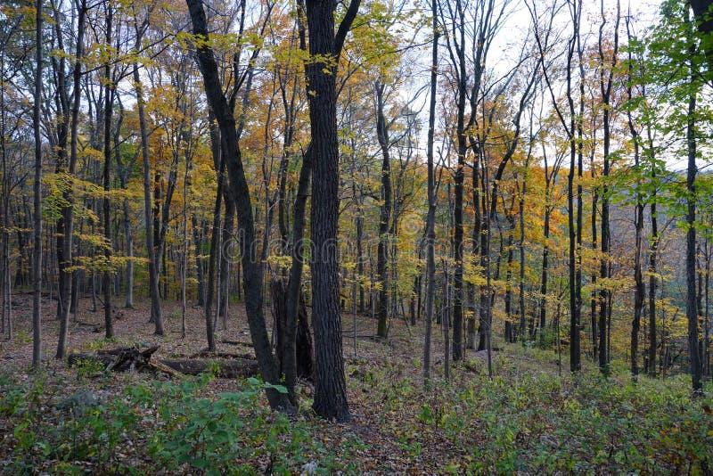 Opinión del bosque del otoño con los árboles con las hojas amarillas fotografía de archivo libre de regalías