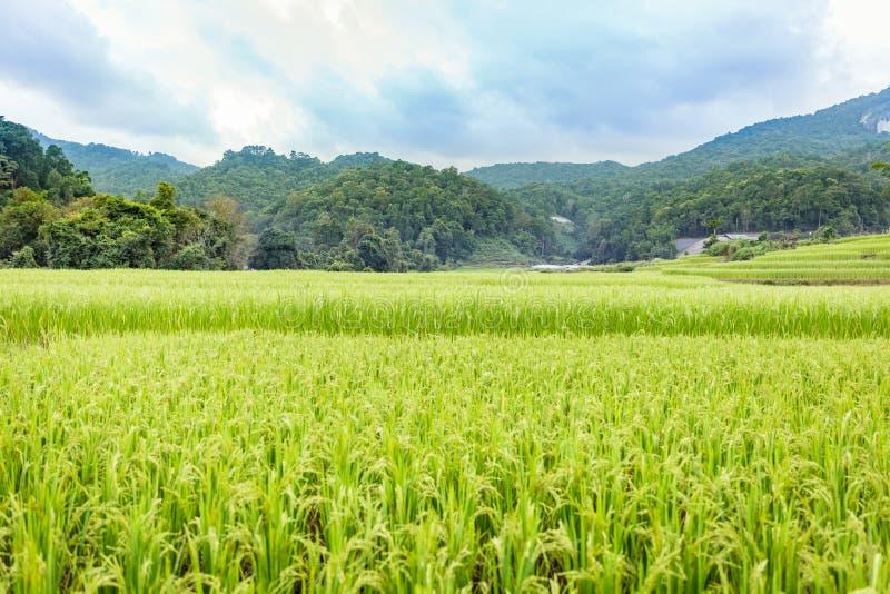 Opinión del campo del arroz en Tailandia fotos de archivo libres de regalías