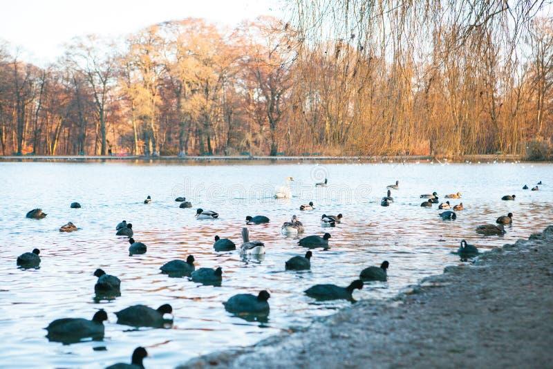 Opinión del lago con los patos y el cisne en Englischer Garten o jardín inglés en Munich, Alemania imagenes de archivo