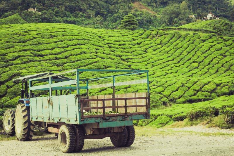 Opinión del paisaje de la plantación de té en Cameron Highland fotografía de archivo libre de regalías