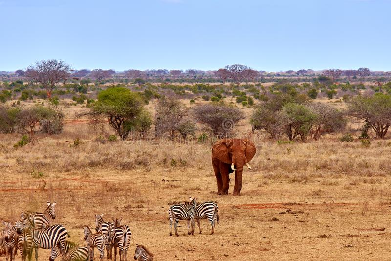 Opinión del paisaje en safari Kenia en África, elefantes y cebras en la sabana con los árboles foto de archivo