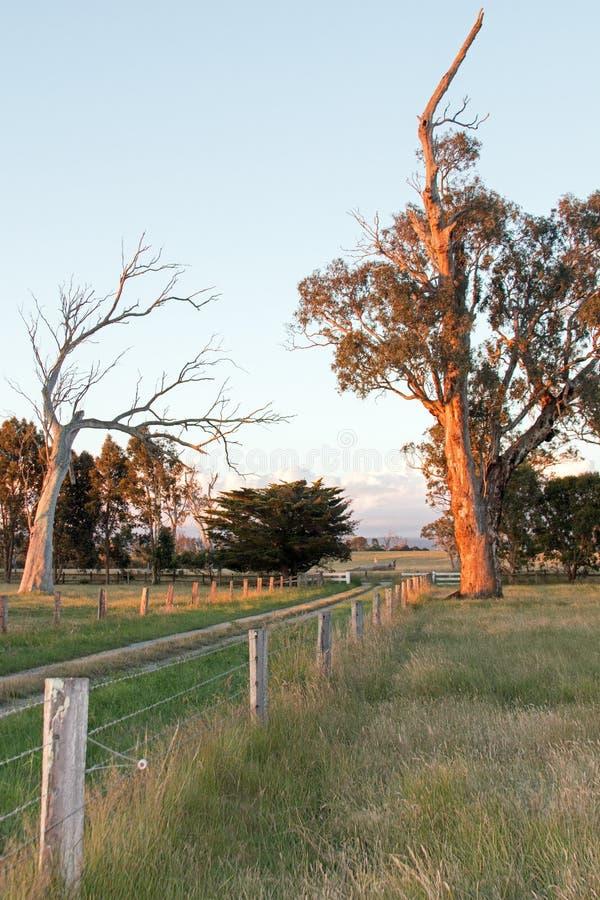 Opinión del pasto de la lechería de la puesta del sol del gorro escocés de la vida y de árboles de eucalipto muertos en Victoria  imagen de archivo libre de regalías