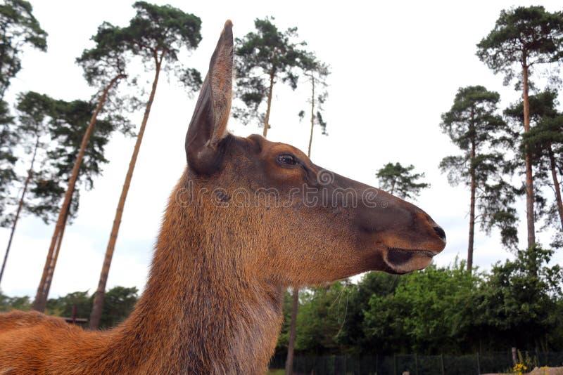 Opinión del perfil de un waterbuck femenino en el parque imagen de archivo libre de regalías