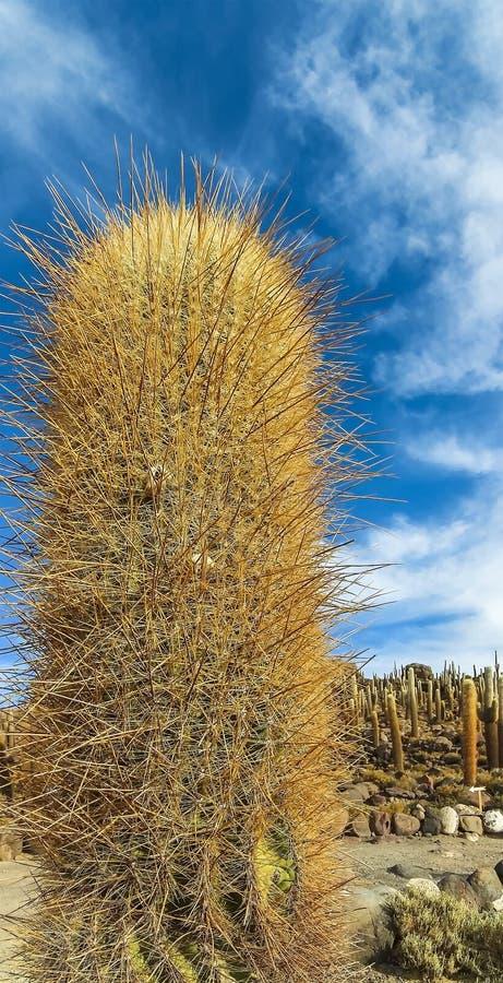 Opinión del primer del cactus gigantes en Isla Incahuasi en Salar de Uyuni foto de archivo