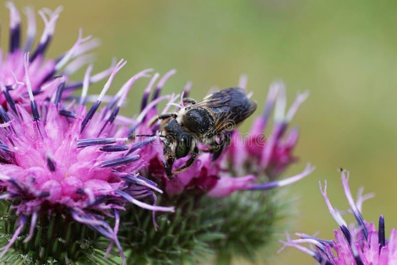 Opinión del primer de delante de una abeja caucásica gris mullida mega fotos de archivo libres de regalías