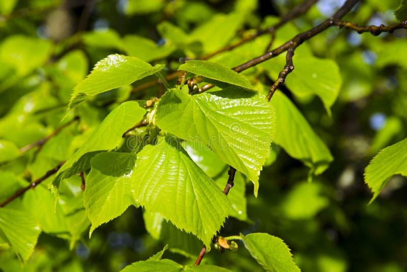 Opinión del primer de hojas verdes jovenes del árbol de tilo después de la lluvia ilustración del vector