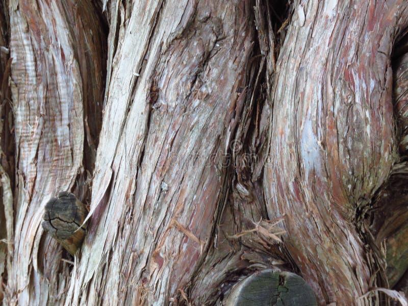 Opinión del primer de la corteza de árbol del Cupressus sempervirens del cupressus fotos de archivo
