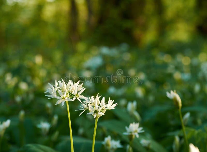 Opinión del primer de la flor de Ramson con el prado defocused en fondo Sol de la mañana en una primavera imagen de archivo