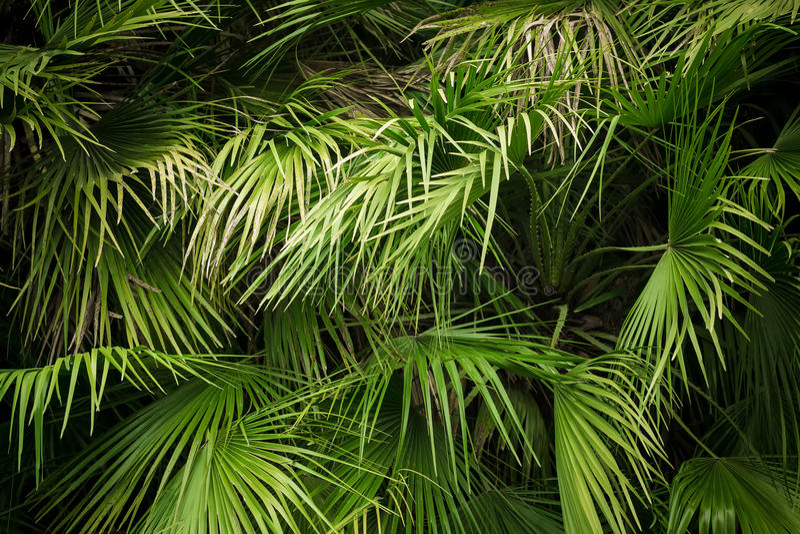 Opinión del primer de la hoja verde de la palmera foto de archivo
