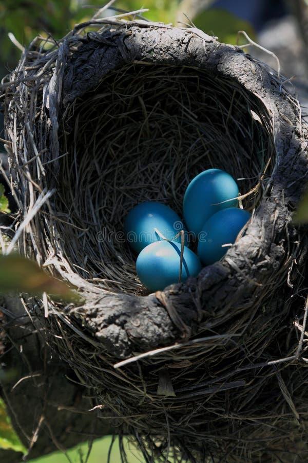 Opinión del primer de la jerarquía del pájaro del petirrojo sobre la orientación de la vertical del árbol fotos de archivo libres de regalías