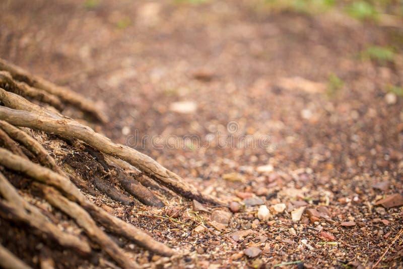 Opinión del primer de la raíz del árbol en el bosque foto de archivo