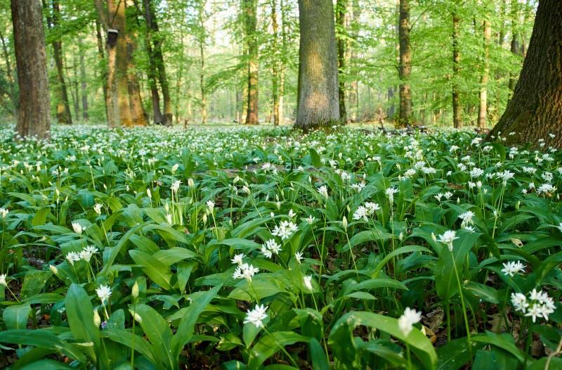 Opini?n del primer de las flores blancas del ajo o del ramson del oso en prado en bosque con sol D?a de resorte imagen de archivo
