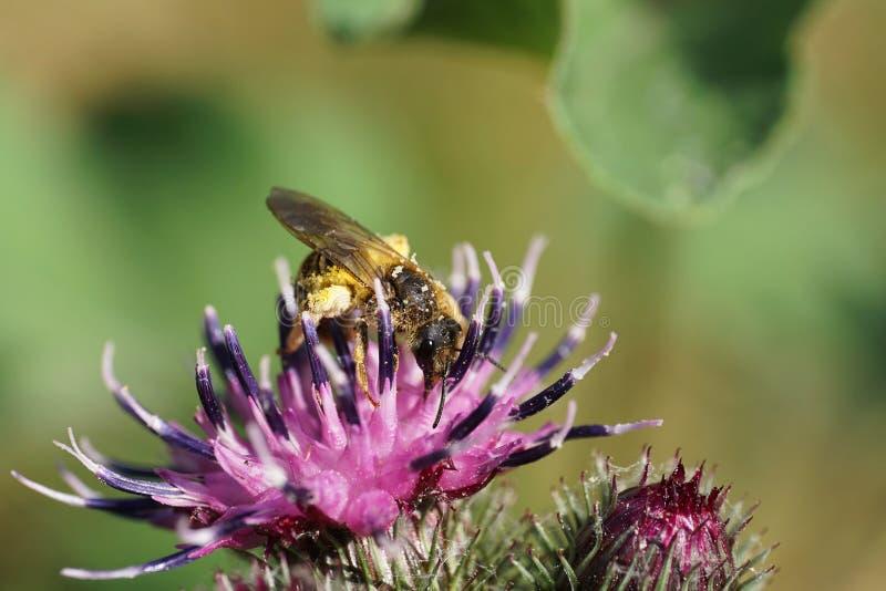 Opinión del primer de los fulvipes salvajes caucásicos de Macropis de la abeja en inflore imagen de archivo libre de regalías