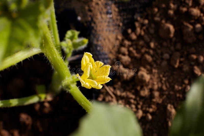 Opinión del primer de un flor amarillo del melón foto de archivo libre de regalías