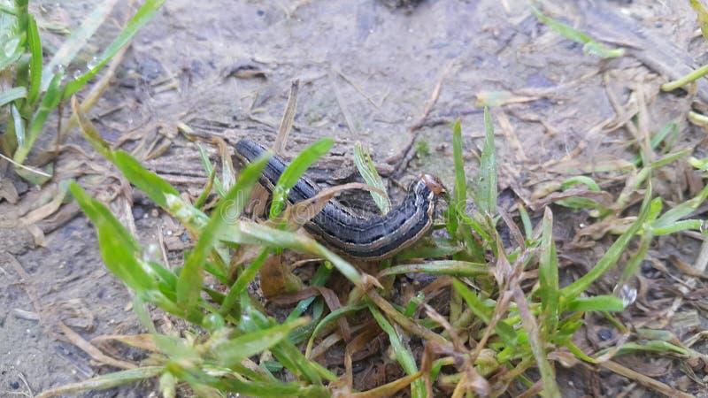 Opinión del primer de un hornworm negro gris que come las hojas verdes en tierras de labrantío foto de archivo