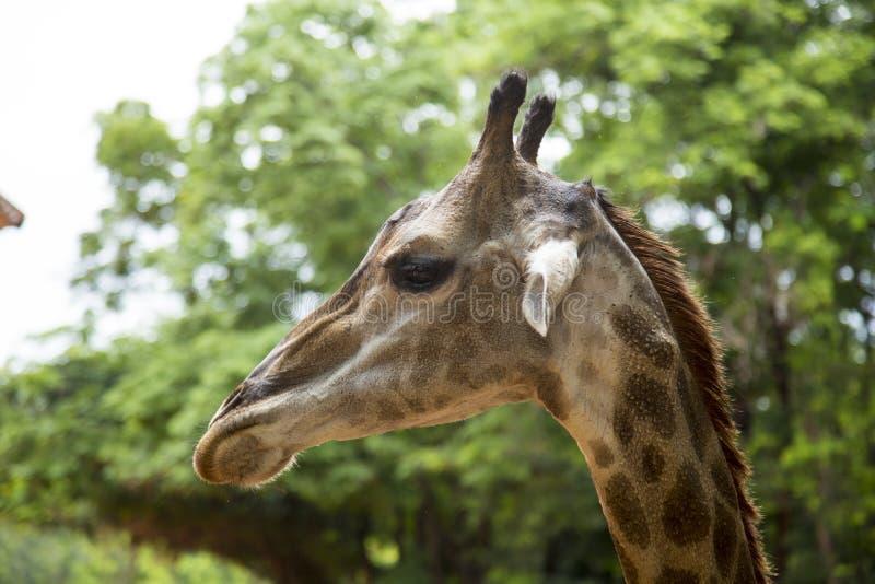 Opinión del primer de una cara de la jirafa imagen de archivo libre de regalías