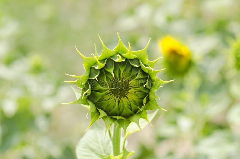 Opinión del primer de una flor joven del girasol foto de archivo