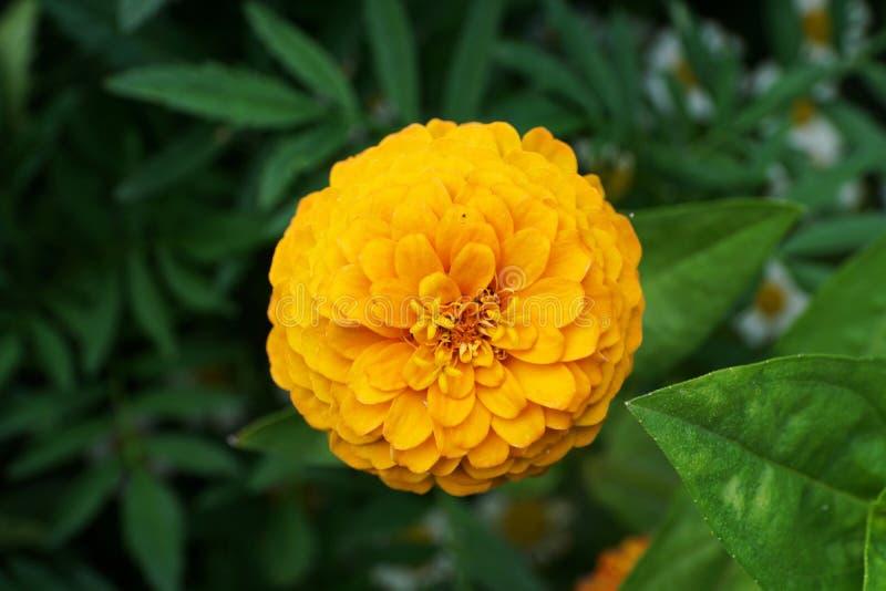 Opinión del primer desde arriba de las inflorescencias florecientes del yel imagen de archivo