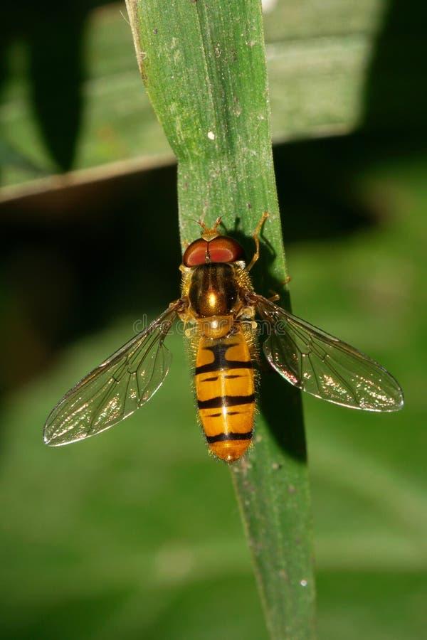 Opinión del primer desde arriba de un hoverf mullido caucásico de la mosca de la flor imagenes de archivo
