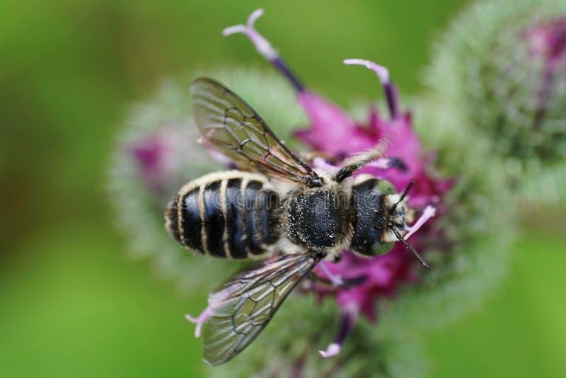 Opinión del primer desde arriba de un Megachile caucásico r del leafworm de la abeja foto de archivo libre de regalías