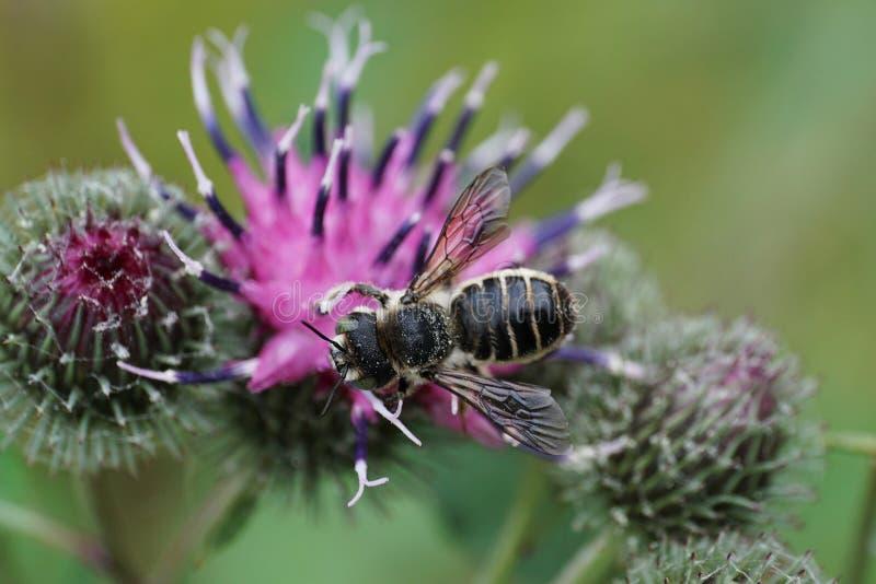 Opinión del primer desde arriba de un ro caucásico del Megachile del prospecto de la abeja imágenes de archivo libres de regalías