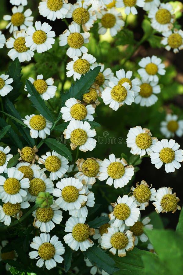 Opinión del primer desde arriba de una multitud de flores de la manzanilla fotografía de archivo