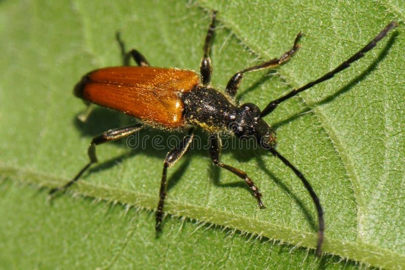 Opinión del primer desde arriba del leñador marrón caucásico del escarabajo imágenes de archivo libres de regalías