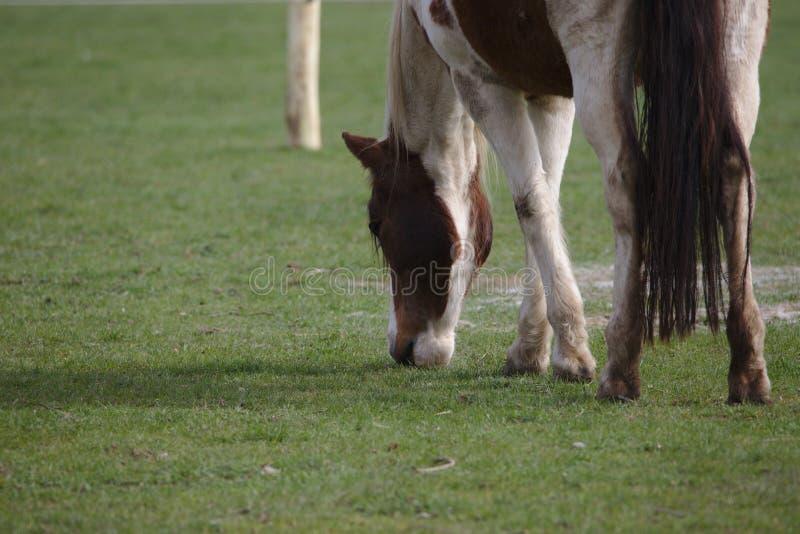 Opinión del primer el caballo marrón hermoso del pinto que come la hierba fotografía de archivo