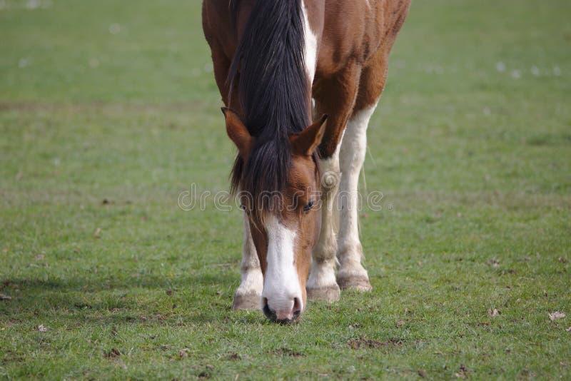 Opinión del primer el caballo marrón hermoso del pinto que come la hierba imagen de archivo