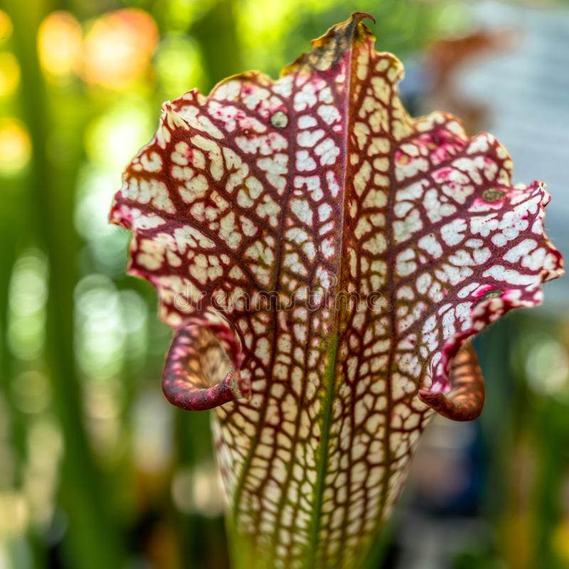 Opinión del primer el Nepenthes de la planta de jarra, al cual atrae insectos con su colorante y olor intensivos y los digiere foto de archivo libre de regalías
