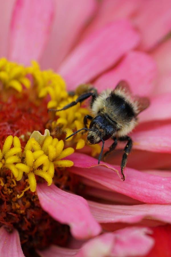 Opinión del primer del frente del abejorro rayado mullido caucásico B imagen de archivo