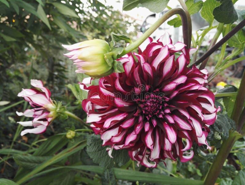 Opinión del primer del granate y del blanco de 'Contraste 'de la dalia decorativos con las flores gigantes imagen de archivo libre de regalías